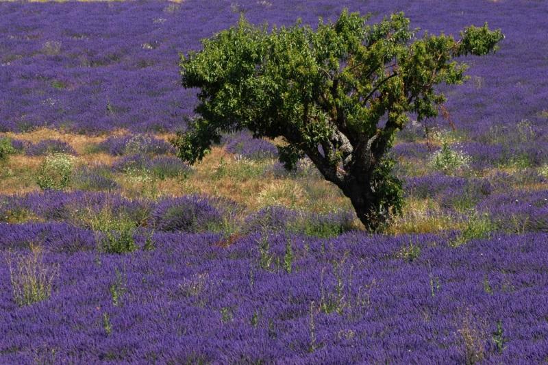 Michlbauer_Josef_509003_PB1_Baum-im-Lavendel.jpg